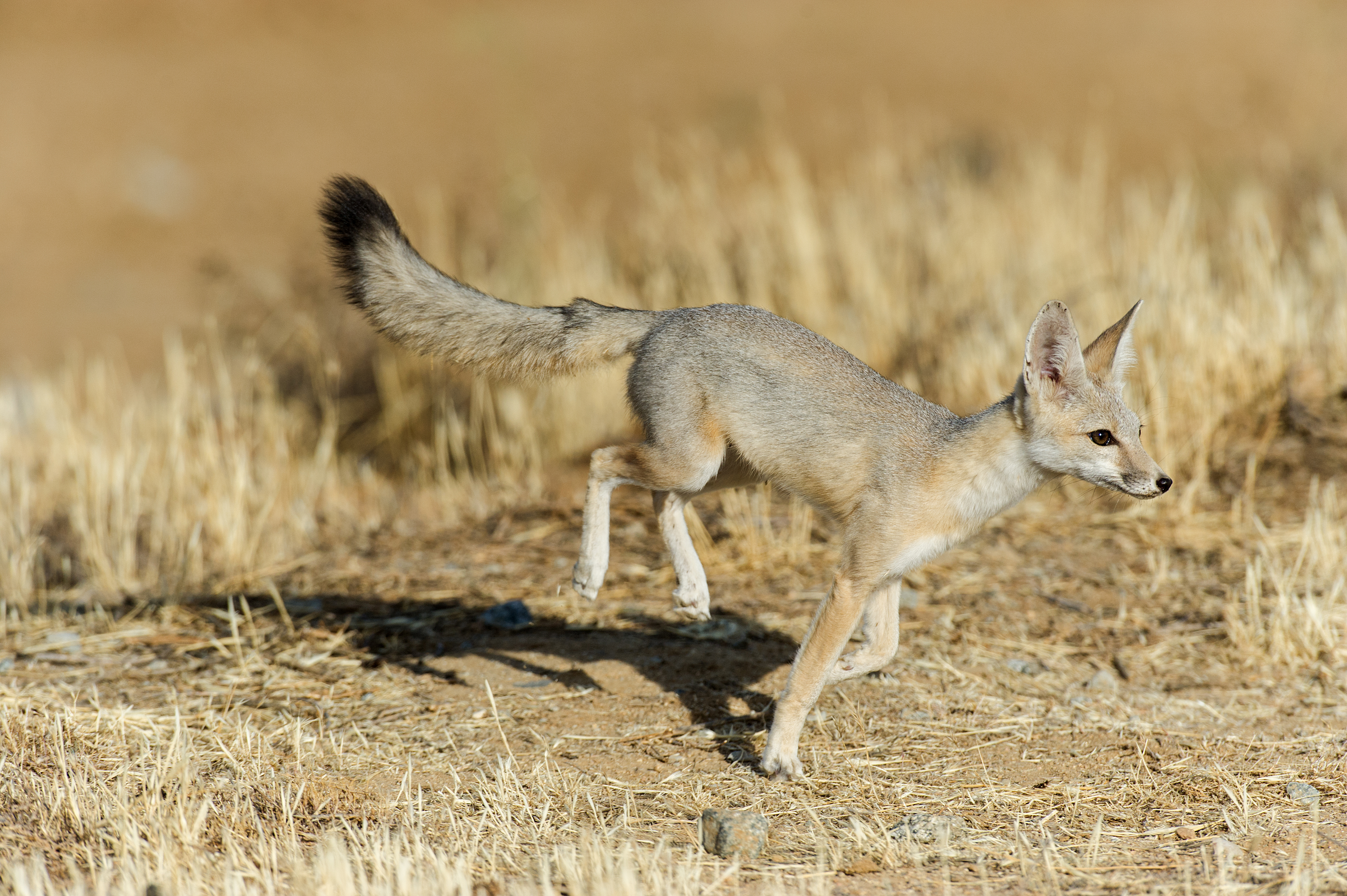 san joaquin kit fox running in the desert