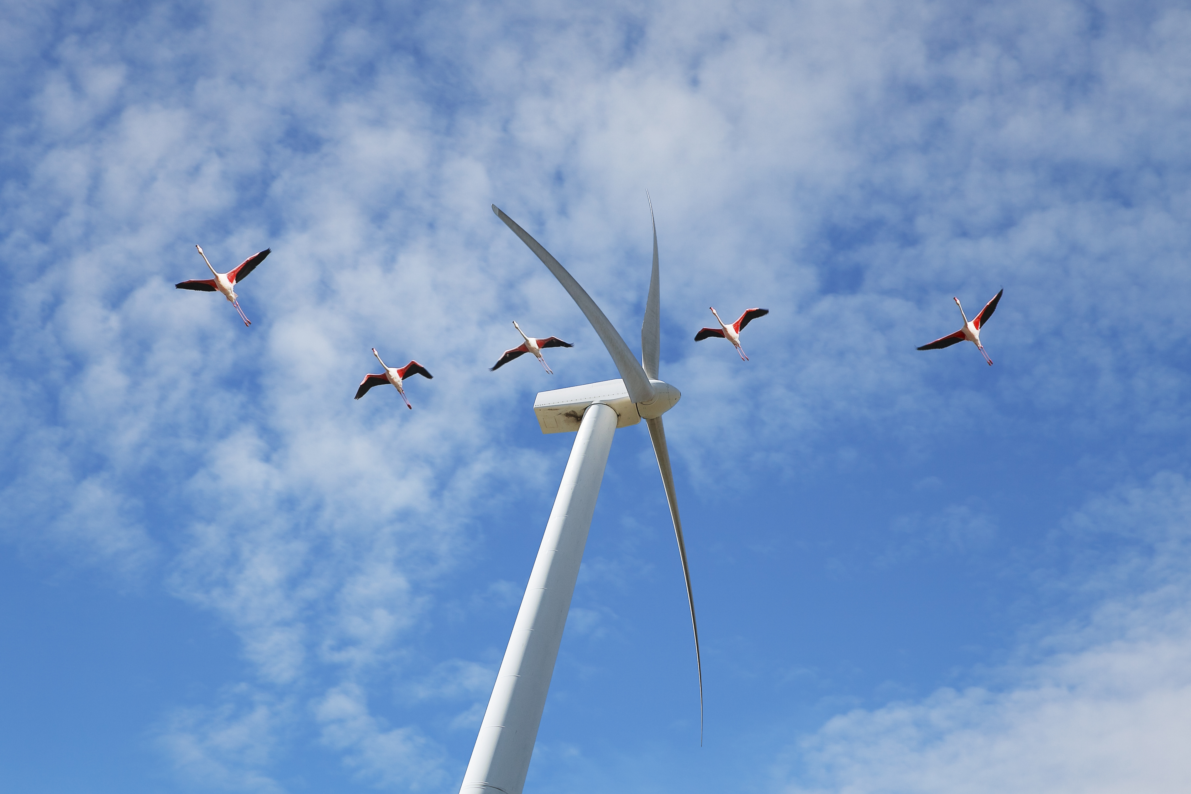 migratory birds flying over windmill blades