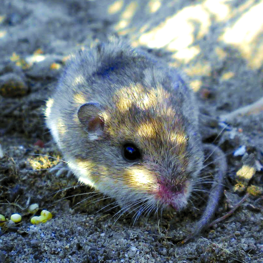 Pacific pocket mouse