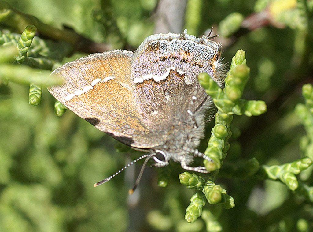 Thorne's hairstreak butterfly