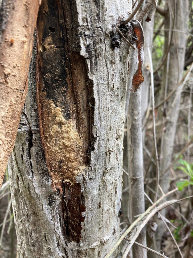 Entry holes, frass, bark staining, and white powder are visible on an ISHB-infested tree.